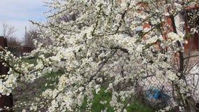 Vita blommor för körsbärsröd plommon i vår arkivfilmer