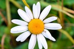 Vita blommor för kamomill Arkivfoto