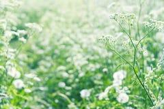 Vita blommor för lös morot Royaltyfri Bild
