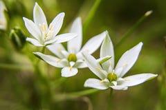 Vita blommor för löst gräs arkivbilder