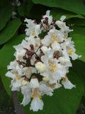 Vita blommor för nordligt träd för catalpa (catawba) Royaltyfria Bilder