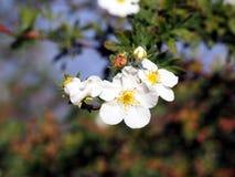 Vita blommor för Shrubby cinquefoil Arkivbilder