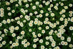 Vita blommor för skönhet i trädgården Royaltyfria Bilder