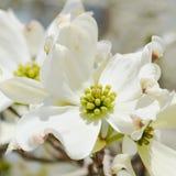 Vita blommor för skogskornellträd Royaltyfria Bilder