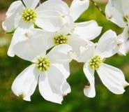 Vita blommor för skogskornellträd Royaltyfri Fotografi