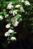 Vita blommor för Spiraea (Meadowsweet) Royaltyfri Foto