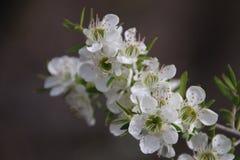 Vita blommor för teträd Royaltyfri Bild