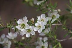 Vita blommor för teträd Royaltyfri Fotografi