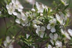 Vita blommor för teträd Royaltyfria Foton