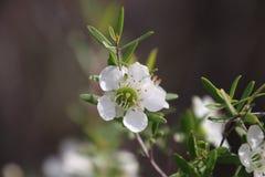 Vita blommor för teträd Royaltyfri Foto