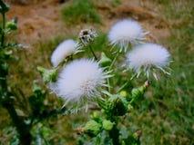 Vita blommor för växt Arkivbild