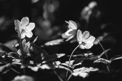 Vita blommor för vår Fotografering för Bildbyråer