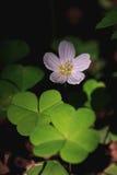 Vita blommor för vår Arkivfoton