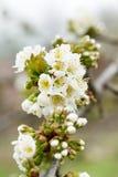 Vita blommor för vårträd arkivbilder