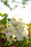 Vita blommor för vit Bougainvillea Arkivbilder