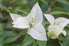 Vita blommor för vit Bougainvillea royaltyfria foton