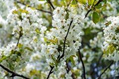 Vita blommor f?r filial f?r k?rsb?rsr?tt tr?d i v?r arkivfoto