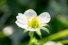 Vita blommor för plommon Royaltyfri Foto