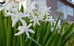 Vita blommor gör grön mitt hus Arkivbilder