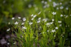 Vita blommor, grönt gräs Arkivbild