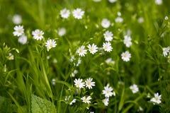 Vita blommor, grönt gräs Fotografering för Bildbyråer