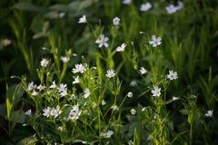 Vita blommor, grönt gräs Arkivfoton