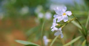 vita blommor, härliga vita blommor i trädgården Royaltyfria Bilder