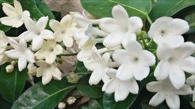 Vita blommor, härliga blommor Jasminfron Madagascar arkivfilmer