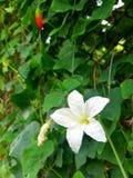 Vita blommor har fem kronblad, och bakgrunden är gröna sidor Arkivbilder