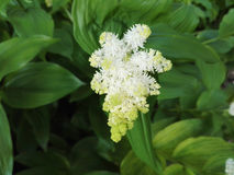 Vita blommor i Aberglasney trädgårdar Royaltyfria Foton