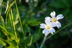Vita blommor i aftonljus Royaltyfria Bilder