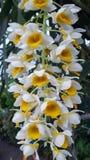 Vita blommor i Brasilien royaltyfri bild