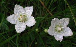 Vita blommor i de schweiziska fjällängarna Arkivfoton