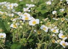 Vita blommor i de trädgårds- jordgubbarna Arkivfoto