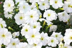 Vita blommor i Dubai mirakelträdgård Arkivbild