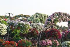 Vita blommor i Dubai mirakelträdgård Arkivfoton