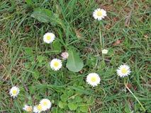 Vita blommor i en grupp Arkivbilder