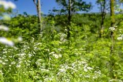 Vita blommor i en skog med en fjäril Royaltyfria Bilder