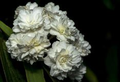 Vita blommor i en trädgård Royaltyfri Fotografi