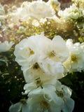 Vita blommor i en trädgård badade vid vårsolen Royaltyfria Bilder