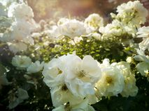 Vita blommor i en trädgård badade vid vårsolen Royaltyfri Foto