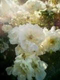 Vita blommor i en trädgård badade vid vårsolen Royaltyfria Foton