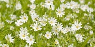Vita blommor i ett sommargräsplanfält Royaltyfria Foton