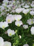 Vita blommor i fältet Arkivbild