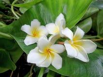 vita blommor i gröna sidor Arkivfoton