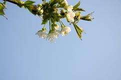 Vita blommor i makro Blomningtr?d Bi p? en vit blomma arkivfoto