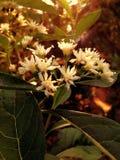 Vita blommor i morgonsolskenet Royaltyfri Foto