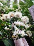Vita blommor i morgonsolskenet Royaltyfri Fotografi
