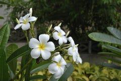 Vita blommor i parkera Royaltyfri Foto
