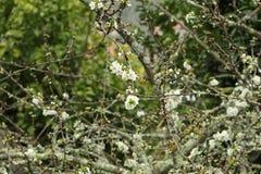 Vita blommor i Spanien arkivfoton